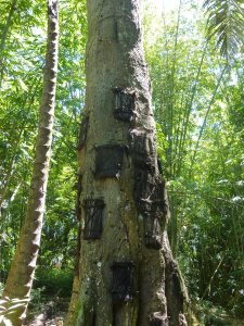 arbre-bebe-toraja_indonesie